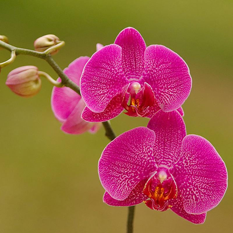 phalanaeopsis Orchids